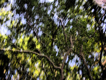Live_oak_canopy_blurry_ink_outline