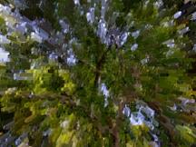 Live_oak_canopy_blurry_then_extru_2