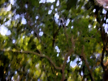Live_oak_canopy_blurry_with_palette