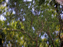 Live_oak_canopy_blurry_with_plastic