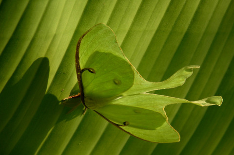 Luna_moth_ii_12_june_2008