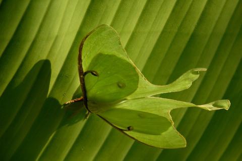 Luna_moth_ii_12_june_2008