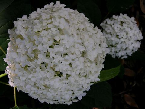Hydrangea_arborescens_annabelle