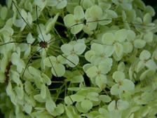 Hydrangea_arborescens_annabelle_ii