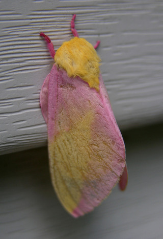 Rosy_maple_moth_25_june_2008