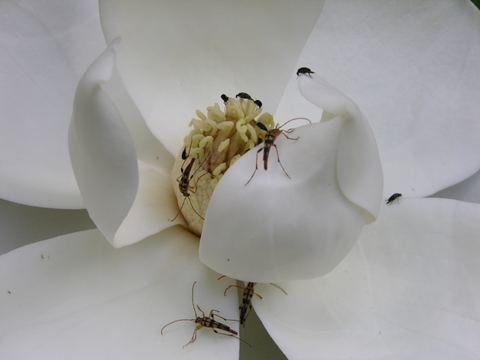 Magnolia_with_insects_28_june_2008