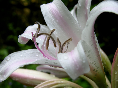Crinum_6_july_2008