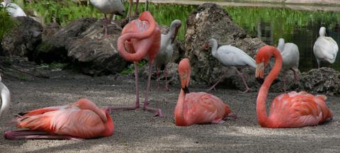 Flamingos_10_july_2008
