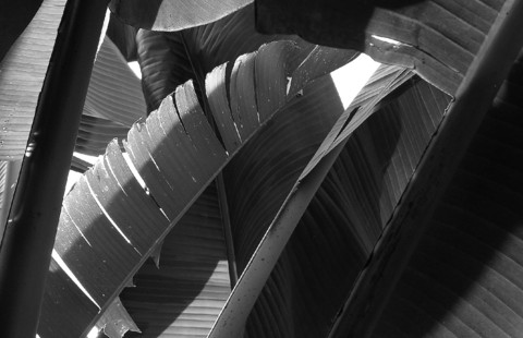 Leaves_grayscale_ii_10_jul