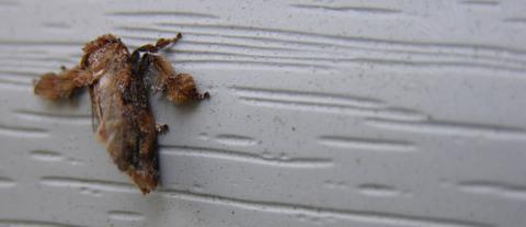 Front_door_light_moth_20_july_2008