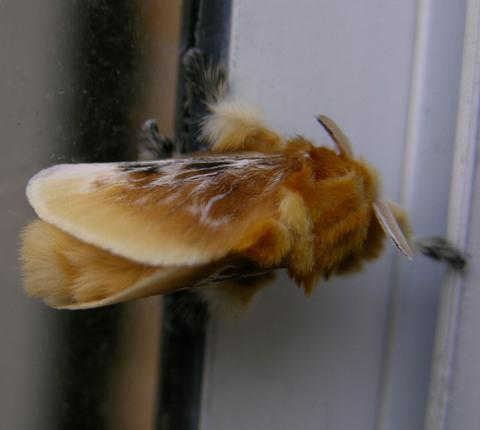 Wednesday_moth_ii_23_july_2008