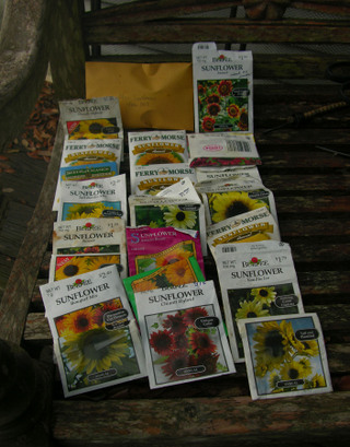 Sunflowers_to_plant_30_july_2008