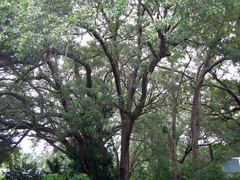 Live_oak_canopy_17_september_2008