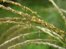 Miscanthus_sinensis_variegatus_21_s