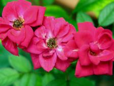 Moms_miniature_rose_21_september_20