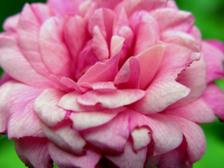Rose_21_september_2008