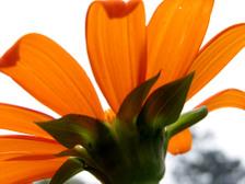 Tithonia_rotundiflora_orange_21_sep