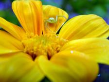 Tithonia_rotundiflora_yellow_with_s