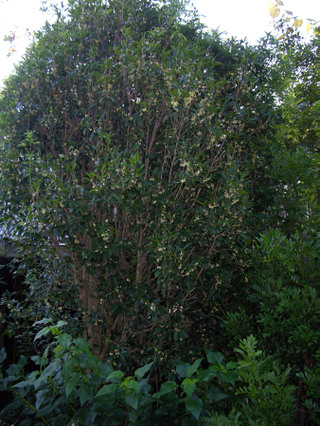 Tea_olive_osmanthus_fragrans