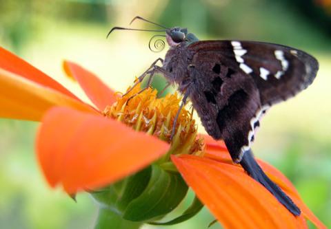 Longtailed_skipper_moth_4_october_2