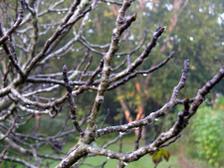 Fig_tree_losing_leaves_16_october_3