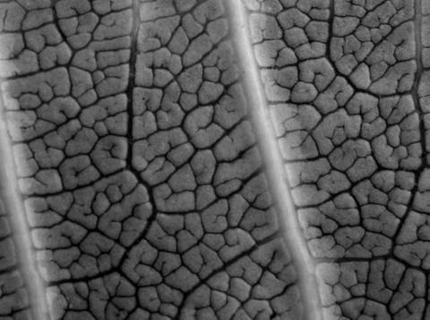 Underside_of_plumaria_leaf_20_octob