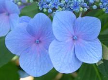 Blue_lacecap_11_june_2006
