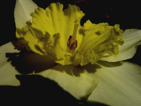 Daffodil_28_february_2007_1