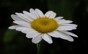 Daisy_26_june_2006