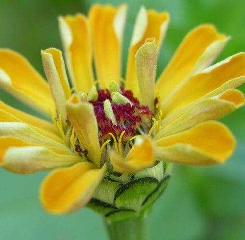 Fall_color_zinnia_30_september_2006