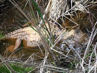 Gator_1_october_2006