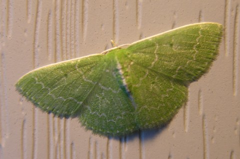 Green_moth_28_august_2006