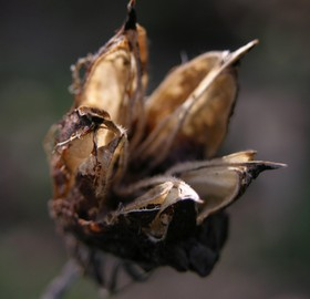 Hibiscus_seed_pod_30_december_2006_1