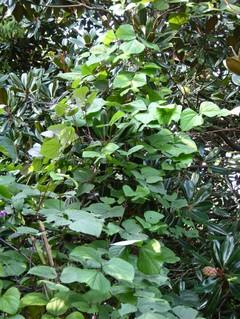 Hyacinth_bean_climbing_the_magnolisa16_s