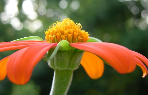 Mexican_sunflower_i_8_july_2006
