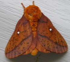 Moth_ii_31_july_2006_1