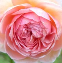 Rose_i_17_september_2006
