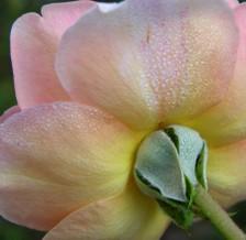 Rose_ii_17_september_2006_1