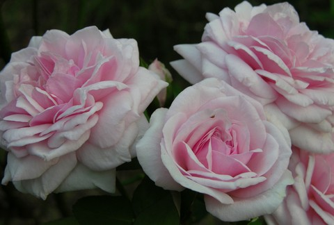 Roses_29_august_2006