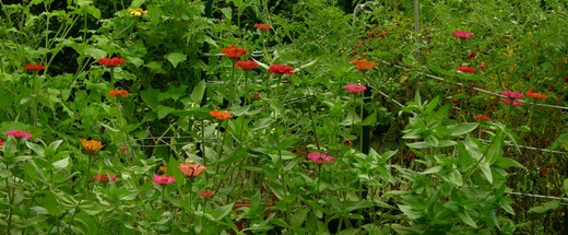 Row_of_zinnias_18_august_2006