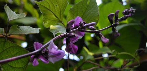 Ruby_moon_purple_hyacinth_bean_16_septem