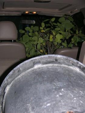 Silverbell_tree_23_september_2006