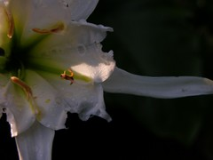 Spider_lily_26_june_2006