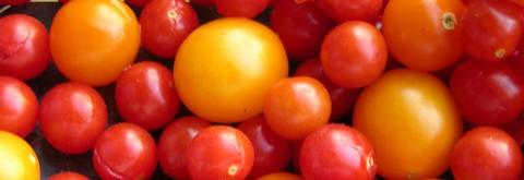 Tomato_harvest_23_june_2006