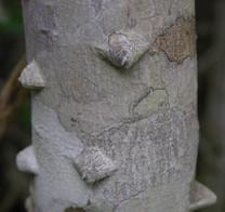 Toothache_tree_1_october_2006_3