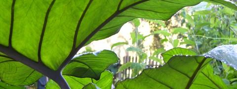 Underside_of_elephant_ear_leaves_20_sept_1