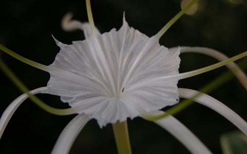 Variegated_spider_lily_23_september_2006