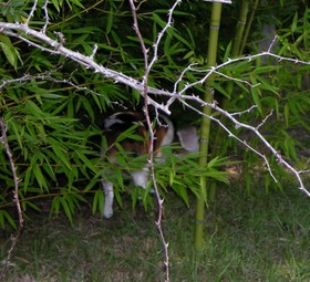 Wild_beagle_spotting_in_bamboo_27_septem