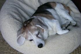 Wild_sleeping_beagle_spotted_27_septembe