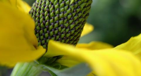 Yellow_nameless_flower_31_may_2006